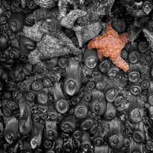 A starfish hangs on for dear life, waiting for high tide to come once more, Cannon Beach, OR