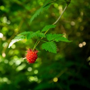 A bright red berry visually yells for attention along the trail of redwoods, Redwood NP, CA