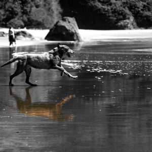 An ecstatic dog, completely lost in the moment, fetches a ball in the ocean tides, Trinidad State Beach, CA