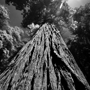 """One of the massive """"older"""" California Redwoods mentors the younger ones, Stout Grove, Redwood NP, CA"""