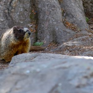 A Red-Belly Marmot look suspiciously of the photographer, Yellowstone NP, WY