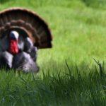 Male wild turkey courting female in Nature Center, Fair Oaks, California