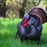 Male turkey courting female in Nature Center, Fair Oaks, California