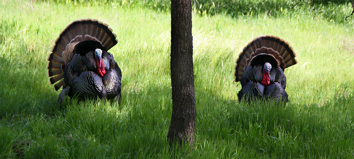 Two male wild turkeys competing for females