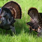 Two male wild turkeys in standoff at the Nature Center, Fair Oaks, California