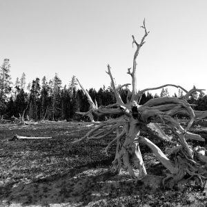 An uprooted fallen tree slowly deteriorates on the valley floor, Yellowstone NP, WY