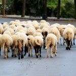Sheep on the road in the peloponnesus, Greece
